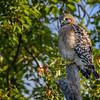 Red-tailed hawk (Buteo jamaicensis) at Bird Rookery Swamp, Naples, Florida
