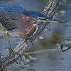 Green Heron Fishing in the Everglades, Florida