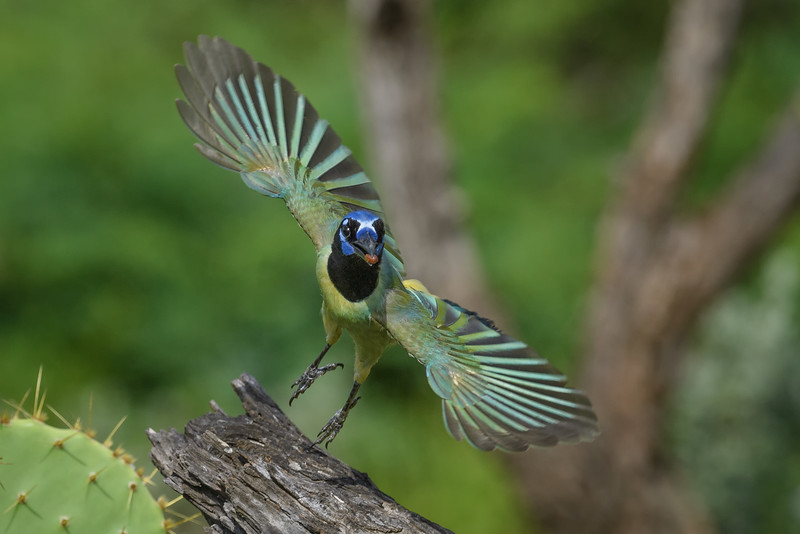 Green Jay (Cyanocorax yncas) in flight near Rio Grande City, South Texas