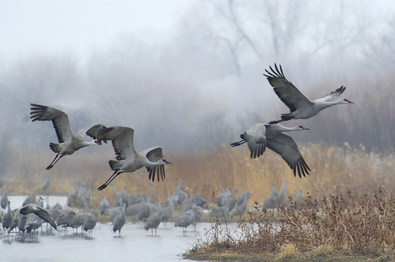 Sandhill Cranes Taking Off from the Platte River on a Misty Morning