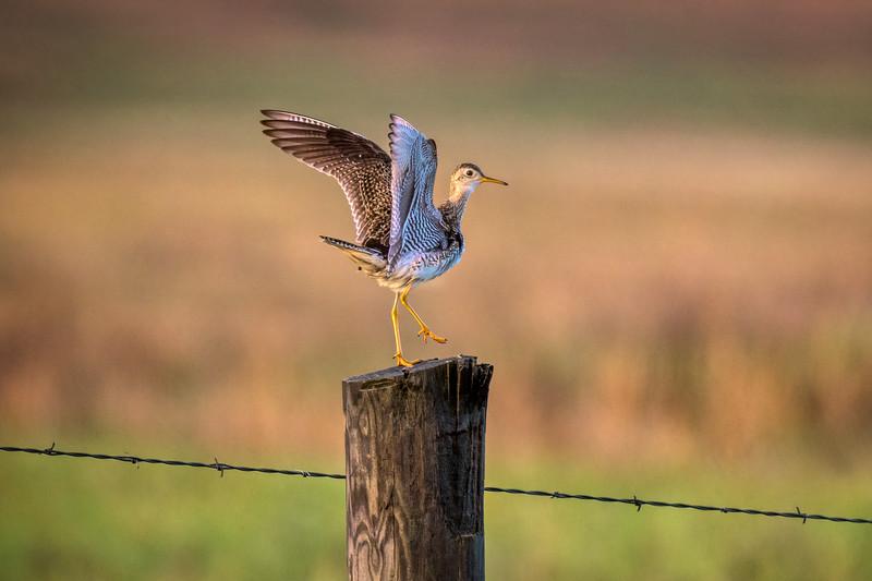 An Upland Sandpiper landing gracefully on a fencepost in Fort Niobrara National Wildlife Refuge near Valentine, Nebraska