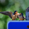 Two Barn swallows conversing on a sign at Ben Irving Reservoir near Tenmile, Oregon