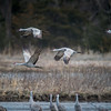 Sandhill Cranes (Grus canadensis) in flight over the Platte River near Kearney, Nebraska