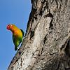 Love Bird, Tanzania, East Africa