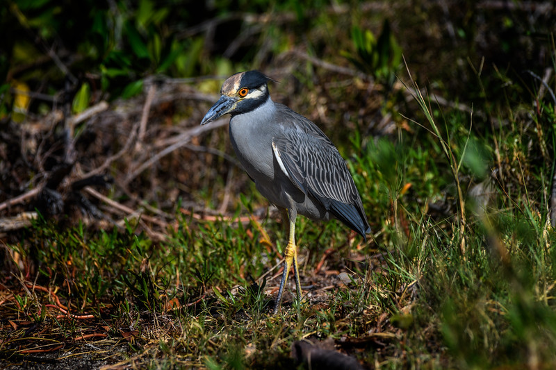 "Adult Yellow-crowned night heron (Nyctanassa violacea) at J. N. ""Ding"" Darling National Wildlife Refuge on Sanibel Island, Gulf of Mexico"
