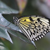 Paper Kite Butterfly on Leaf