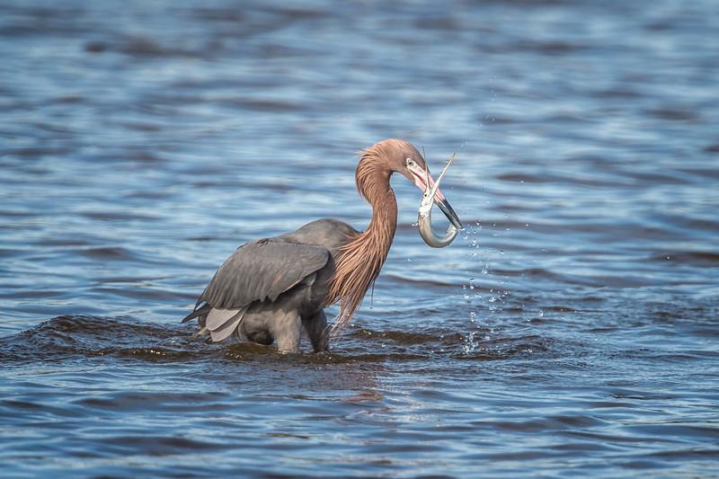 "Reddish egret (Egretta rufescens) catching at gar at J. N. ""Ding"" Darling National Wildlife Refuge, Sanibel Island, Florida"
