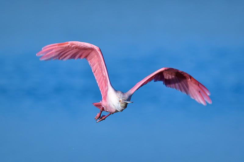 "Roseate spoonbill in flight at J.N. ""Ding"" Darling National Wildlife Refuge, Sanibel Island, Florida"