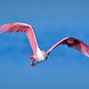 "Roseate spoonbill in flight at J.N. ""Ding"" Darling National Wildlife Refuge, Sanibel Island, Florida"