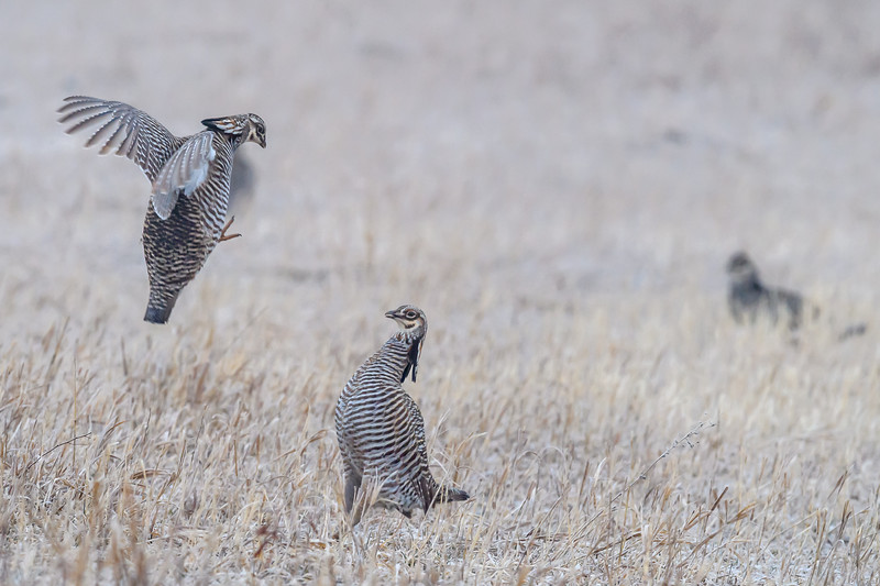 Male Greater Prairie Chickens fighting for dominance at Lek near Burwell, Nebraska