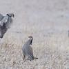 Male Greater Prairie Chickens fighting for dominance at Lek near Burwell, Nebraska