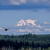 Bald eagle flying near Mt. Rainier at Nisqually National Wildlife Refuge, Lacey, Washington State
