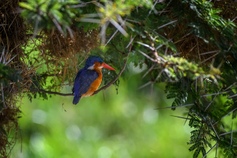 Malachite kingfisher (Alcedo cristata) at Amboseli National Park, Kenya, East Africa