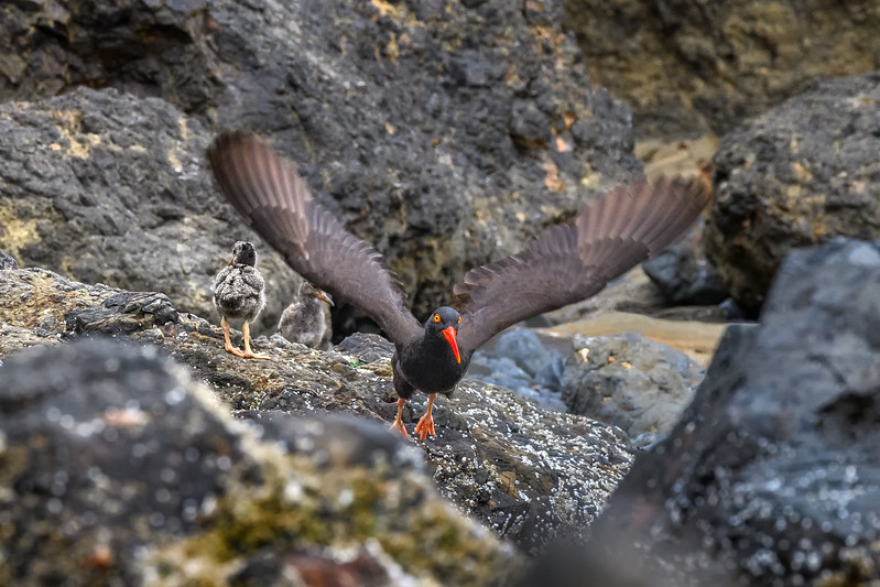 Male Black Oystercatcher taking off again in search of food after feeding two of his three 11-day-old chicks, Haystack Rock, Cannon Beach, Oregon