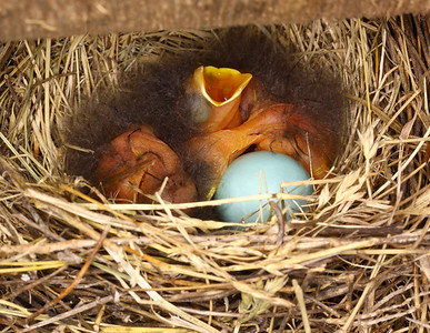 June 14, 2009 - Baby Bluebirds, three hatched, two to go. Second un-hatched egg not visible in this photo.
