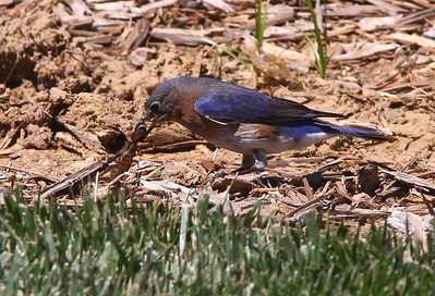 May 20, 2009 - Female Bluebird with BIG insect, beginning at least a full minute of biting and throwing this bug to the ground in an attempt to subdue it enough so that she could fly away with it.