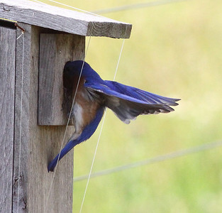 June 14, 2009 - Dad Bluebird sharing his parenting responsibilities.