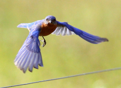 "June 14, 2009 - ""Dad"" Bluebird expressing his feelings about me sizing up his nest so that I could come back later and stick my camera lens into HIS nest box, to take pictures of HIS babies. The photo is out of focus in spots, mainly because Dad was only a few feet away and homing in!"