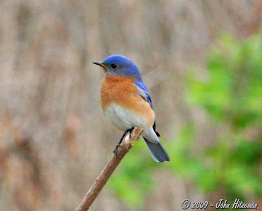 Male Eastern Bluebird at Busch WCA - April 21, 2009