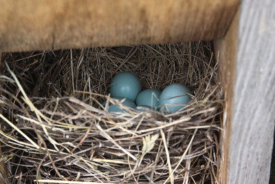 June 6, 2009 - Bluebird eggs in nest box, my back yard, Troy, MO