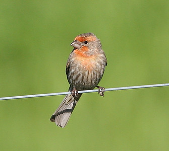Light Orange Variant Male House Finch