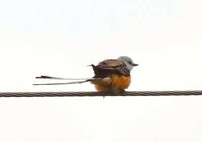 Documentation Scissor-tailed Flycatcher - Highway N - 2008 - 2009