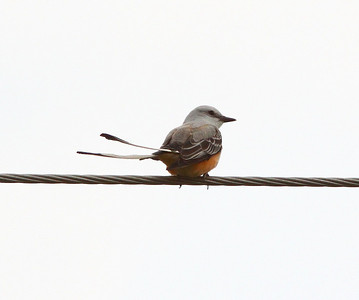 Scissor-tailed Flycatcher at Highway N and Fiese Rd., St. Charles, MO