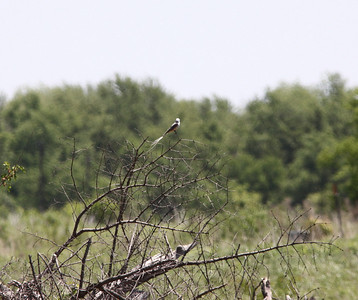 May 19, 2009 - Male Scissor-tailed Flycatcher on Brush Pile, south side of Nest Tree tree-line- in vacant field north of Tarret Store -Henke Road St. Charles County, MO