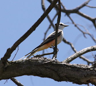 May 19, 2009 - Male Scissor-tailed Flycatcher in Nest Tree - Henke Road St. Charles County, MO