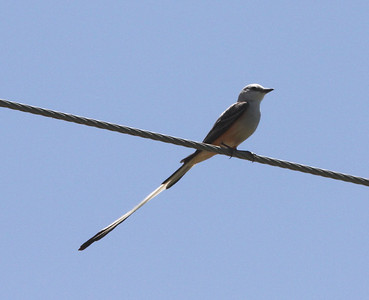 May 19, 2009 - Male Scissor-tailed Flycatcher on power line, west side of Henke Road St. across from nest tree - St. Charles County, MO