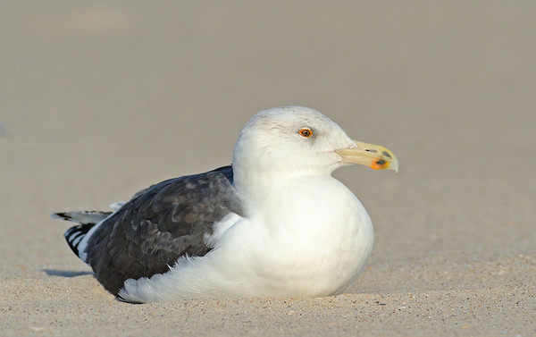 Gulls, Terns,  Shore Birds, Song Birds, Warblers,  Raptors  and other Creatures of Jones Beach and other South Shore Areas