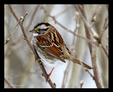 White-throated Sparrow, white striped variety.
