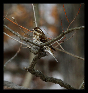 Female Purple Finch.