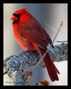 "A handsome Northern Cardinal Male - A ""common"" bird but they are one of my favorites."