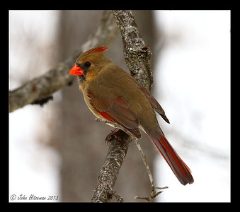Female Northern Cardinals are beautiful, too!
