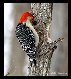 Male Red-bellied Woodpecker stashing sunflower seeds in his hiding spot.