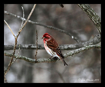 Male Purple Finch.