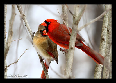 A second before this photo was taken, the Male Northern Cardinal had flown over and placed the sunflower seed in the Female's beak. Kinda like humans, huh?