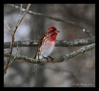 "Male Purple Finch. Note ""raspberry"" color as compared to the more orange coloration of the common House Finch."
