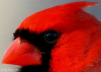 For my non-photographer friends - When reviewing and choosing photos of birds, the focus and reflection of the eye is critical. Notice that the reflection of the sky and our house is visible in the Cardinal's eye. I was shooting these photos from an open window on the side of our house. The distance from the lens to the bird was approximately 85 feet, yet the Canon 500mm lens still managed to capture the reflected image from the bird's eye.