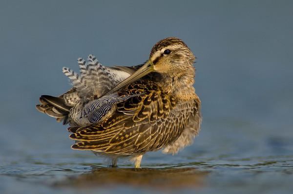 Shore Birds Ducks and Waders