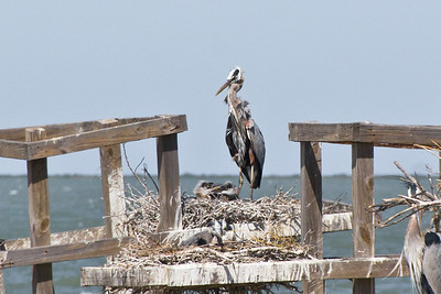 Giant Blue Heron with chicks, Texas Gulf Coast