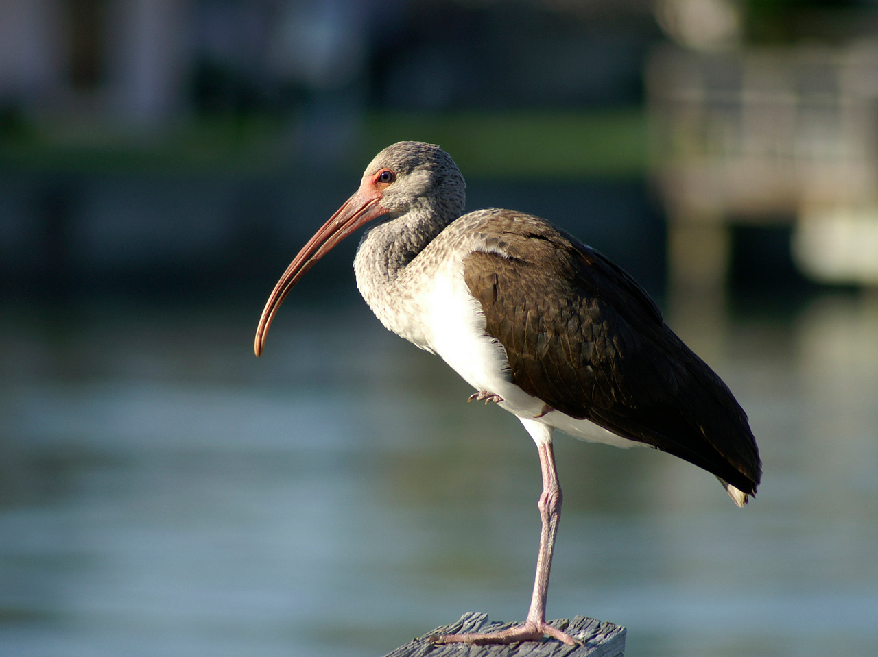 Ibis, Reddington Beach, Florida
