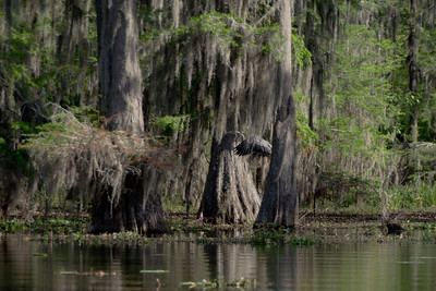 Giant Blue Heron, Atchafalaya Swamp, Louisiana