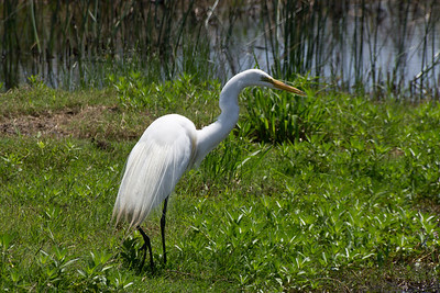 White Egret, Cameron Prairie National Wildlife Refuge, Lousiana