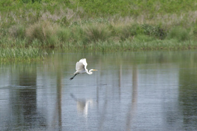 White Egret, Cameron Prairie National Wildlife Refuge, Louisiana