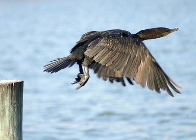 Cormorant, Reddington Beach, Florida