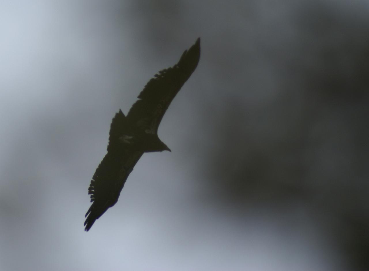 Condor, Grand Canyon National Park, Utah