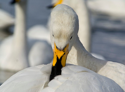Whooper Swan, Lake Kyushu, Japan