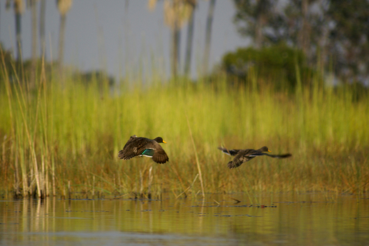 Ducks, Moremi Game Reserve, Okavango Delta, Botswana